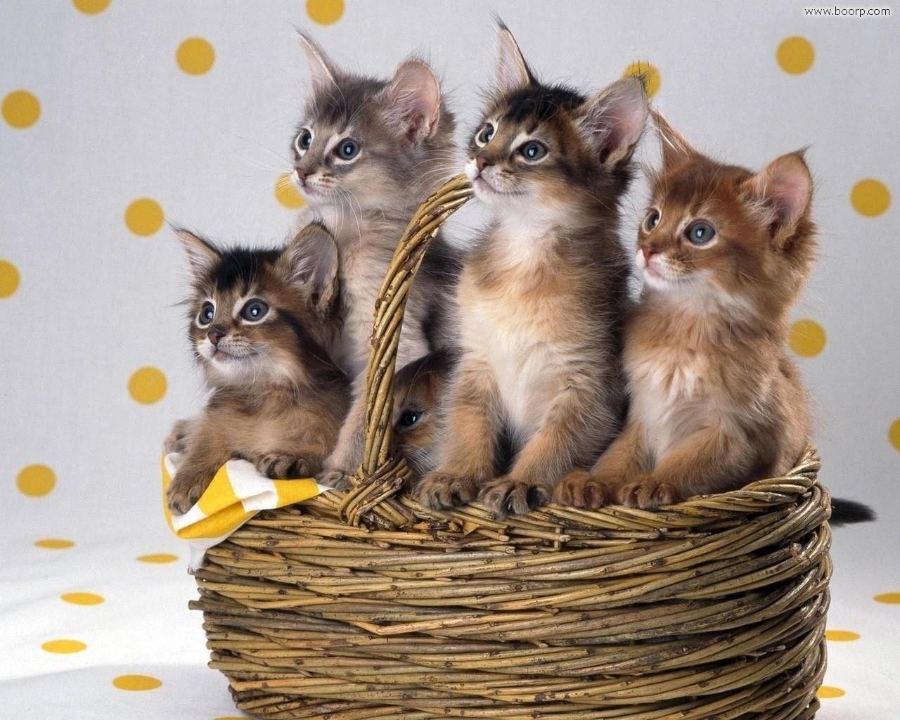 cucciolata_di_gatti